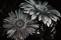 Gerber Daisies in Black and White